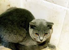 Pure Scottish Fold Blue Shorthair Only 950 AED