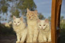قط سيبيري cats siberian