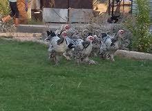 دجاج ابراهام