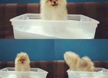 كلب pomeranian بوميرانيان بالرياض