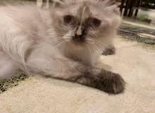 قطة أنثى هملايا شوكلت بيوور Female Himalayan Cat chocolate