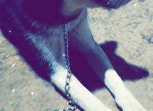(كلب هاسكي بيور)