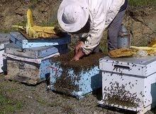 عسل طبيعي من جبال عجلون الأردن