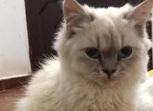 قط شيرازي اللون هملايا للبيع