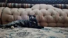 القط نضيف مافيها شي بر
