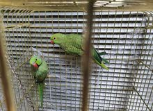 ring parrot male and female with cage and accessories