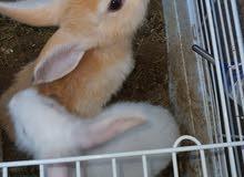 أرانب هوانديات للبيع