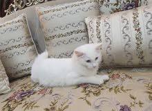 قطة نوع تركي، اللون أبيض،لون العين أزرق، العمر 5 شهور، تم التطعيم