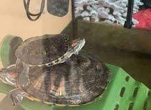 large Turtle