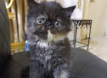 قطه بيرشن بكي فيس عمره 3اشهرمتعلمه علا التر بوكس