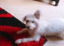 كلب فرينش تيرا