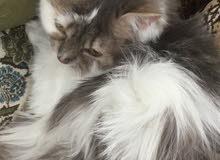 قطه حامل للبيع