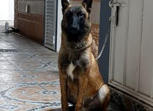 كلب مالينو ذكر للبيع