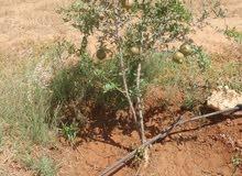 مزرعة 6 هكتار في الطلحية للايجار