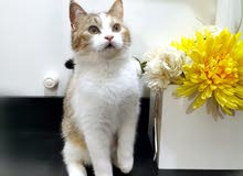 قطة كاليكيو انثى