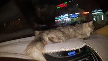 قطه اليفه جدا للبيع