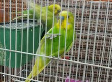 طيور حب سبانجل سنكل فاكتر