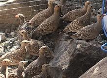 طيور القطا -عماني