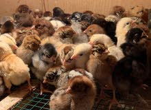 للبيع فروخ دجاج فيومي ودجاج بلدي