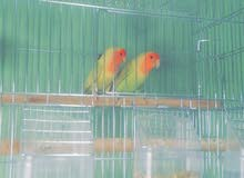 طيور للبيع love birds ذكر وانثى