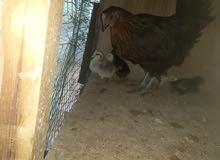 دجاجة عربية تحتها فلاليس
