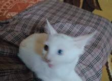 القطه عمرها 6شهور والحمدلله لايوجد بها مرض مثل ماشفتوها فالصوره