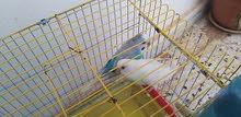 طيور بقلينو للبيع كوبية ماشاء الله