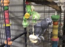 African Grey with Big Cage