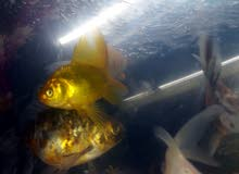 سمك للبيع هو والحوض