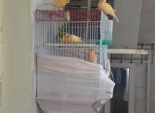 طيور كناري للبيع عدد 4 .. تربية منزلية