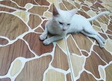 قطه اليفه