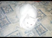 قطه شيرازي للبيع أنثى