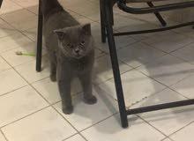 قط سكوتش فولد و قطه بريتش شورت هير للبيع