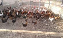 دجاج بلدي ممتاز للبيع