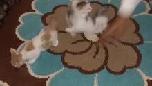 قطط من نوع سيامي