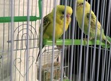 عصافير الحب للبيع