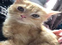 قط ذكر شيرازي جميل عمر شهرين ونصف