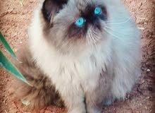 قطه هملايا عمرها سنه