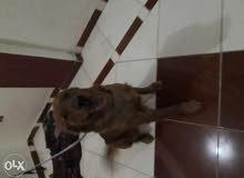كلب جولدن العمر سنتين بمصروفات التطعيم فقط