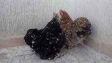 2 دجاجان أسترالي وحدة دحي
