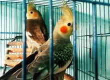طيور calopsiteللبيع(كوكتيل)