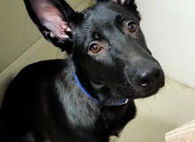 dog. Male. Age 6 months, all vaccinations I take.