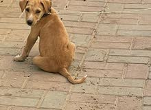 lab and golden retriever mix breed puppy for sale