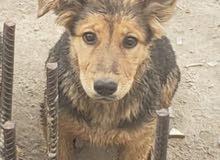 كلب جرمان انثى عمر 5اشهر للبيع