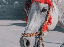 حصان جمال