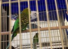 طيور الحب بادجي ( Budgie) Love Birds (200 SAR