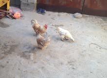 دجاج للبيع ديج او دجاجتين