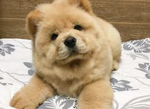 Chow Chow puppy in available Bahrain