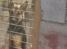 كلبه جيرمن للببع السعر 250 الف