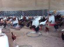دجاج محلية